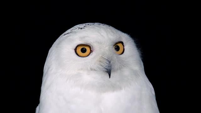 ECU Shot of Snowy Owl, nyctea scandiaca, Adult looking around / Scandinavia, Greece