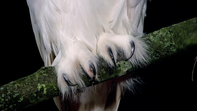 ecu shot of snowy owl, nyctea scandiaca, claws / scandinavia, greece  - snowy owl stock videos and b-roll footage