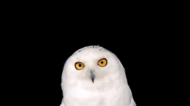 cu shot of snowy owl, nyctea scandiaca grooming / scandinavia, sweden  - animal head stock videos & royalty-free footage