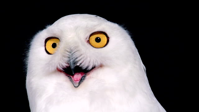 ecu shot of snowy owl, nyctea scandiaca grooming / scandinavia, sweden  - mouth open stock videos and b-roll footage