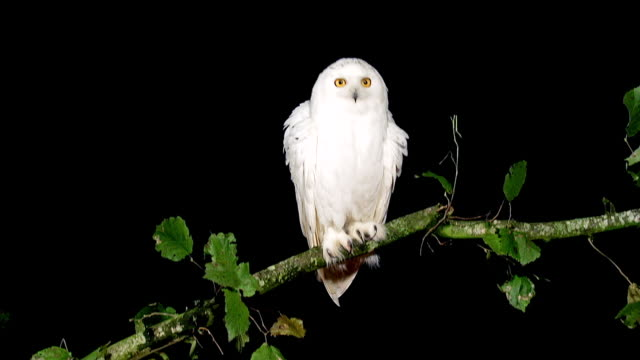 MS Shot of Snowy Owl nyctea scandiaca shaking from branch / Scandinavia, Sweden