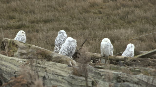 ms shot of snowy owls (nyctea scandiaca) / british columbia, canada - group of animals stock videos & royalty-free footage