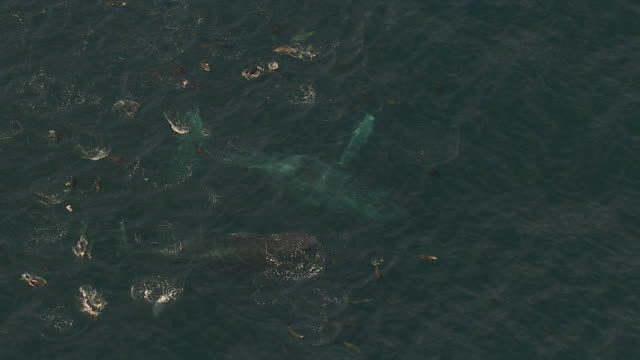 ms aerial zi shot of southern right whales and common dolphin swimming off coast of western cape / cape town, western cape, south africa - common dolphin stock videos & royalty-free footage
