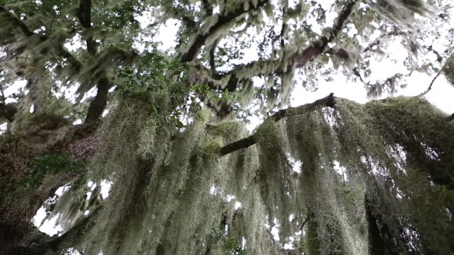 ms pan shot of spanish moss hanging from tree / st. simons island, georgia, united states - spanish moss stock videos & royalty-free footage