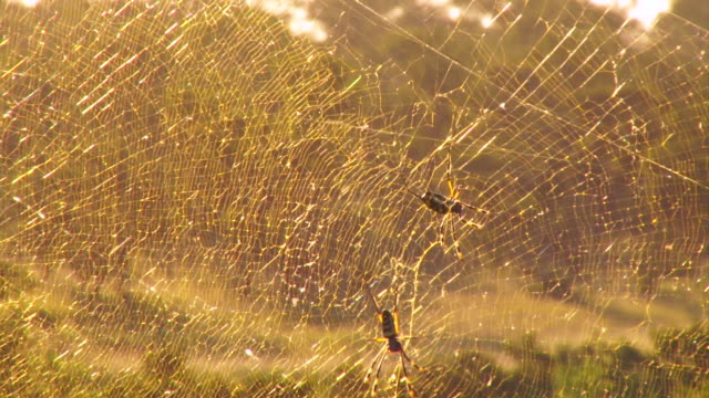 stockvideo's en b-roll-footage met cu r/f shot of spider with net at sunset  / kruger national park, mpumalanga, south africa - uitfaden