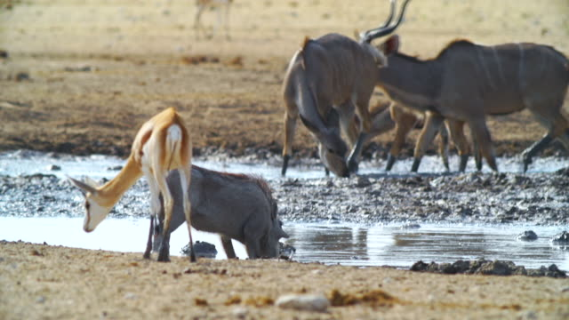 MS Shot of Springboks, Kudu and warthog at waterhole / Etosha National Park, Namibia