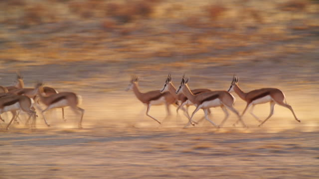 MS TS Shot of Springboks running in savannah / Etosha National Park, Namibia
