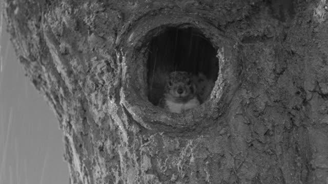 CU Shot of squirrel in tree