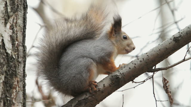 MS Shot of Squirrel sitting on tree branch / Moscow region, Russia