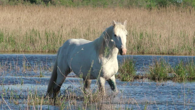 MS Shot of Stallion emerging from Swamp / Saintes Maries de la Mer, Camargue, France