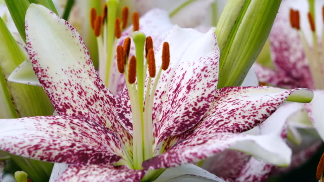 ecu shot of stamen of lilies, keukenhof gardens / lisse, south holland, netherlands - stamen stock videos & royalty-free footage