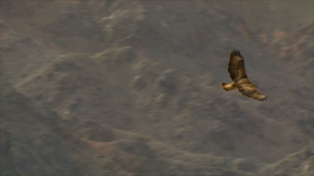 MS TS Shot of Steppe Buzzard (Buteo Buteo vulpinus) taking off and thermalling on migration/ Eilat mountains , israel / Eilat, Negev Desert, Israel