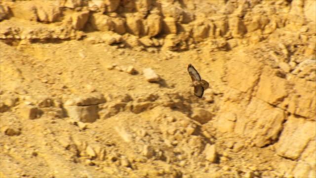 ms ts shot of steppe buzzards (buteo buteo vulpinus) thermalling on migration at desert landscape / eilat mountains / eilat, negev desert, israel  - habicht stock-videos und b-roll-filmmaterial