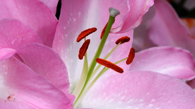 ecu shot of stigma and stamen of pink ilies, keukenhof gardens / lisse, south holland, netherlands - stamen stock videos & royalty-free footage