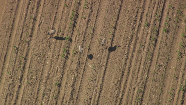 MS AERIAL Shot of Storks pecking in farmland/ Germany