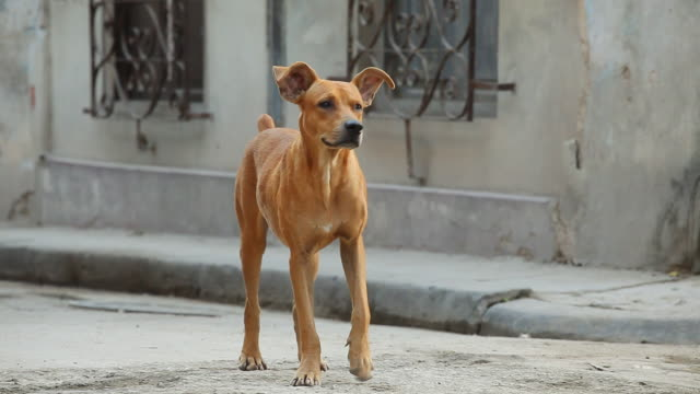 vidéos et rushes de ms ts shot of stray dog / havana, cuba  - chien
