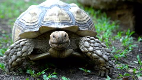 cu-schuss sulcata schildkröte zu kamera - landschildkröte stock-videos und b-roll-filmmaterial