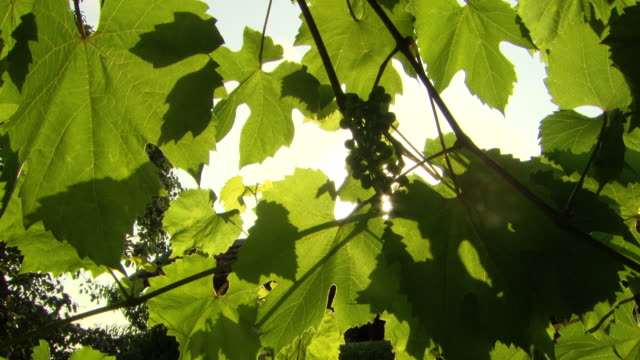CU Shot of sun light coming through Leaves / Biarritz, France