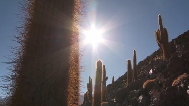 CU TU TD Shot of Sun shining on Cardon Grande Cactus, Echinopsis species in Atacama desert / San Pedro de Atacama, Norte Grande, Chile