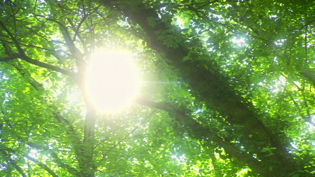 MS PAN Shot of sun shining through leaves and branches in canopy of tall trees / United States