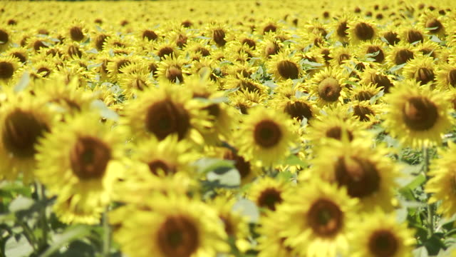 cu r/f shot of sunflower field blowing in wind in france / lit-et-mixe, aquitaine,  france - aquitaine stock videos and b-roll footage