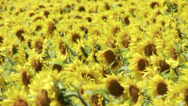 cu shot of sunflower field in france / lit-et-mixe, aquitaine,  france - aquitaine stock videos and b-roll footage