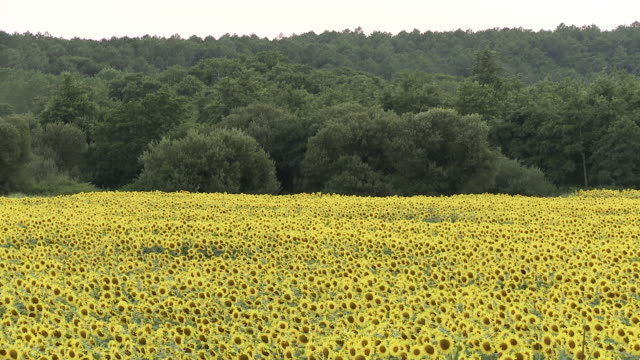 ms shot of sunflower field / lit-et-mixe, aquitaine,  france - aquitaine stock videos and b-roll footage