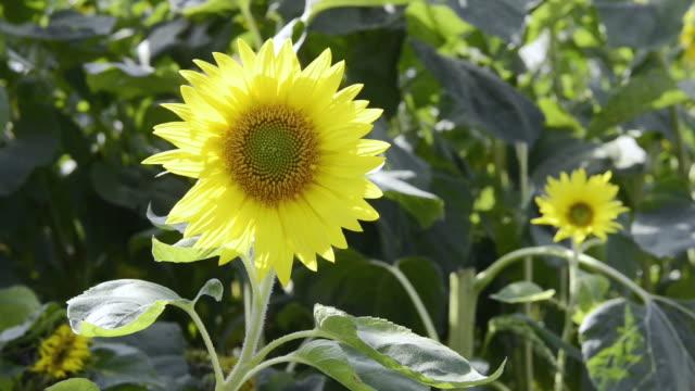 cu shot of sunflower / landshut, bavaria, germany    - staubblatt stock-videos und b-roll-filmmaterial