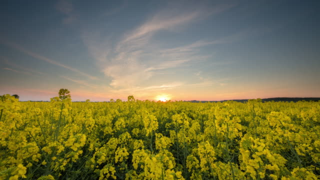 t/l 8k shot of sunset scene over the canola field - canola stock videos and b-roll footage
