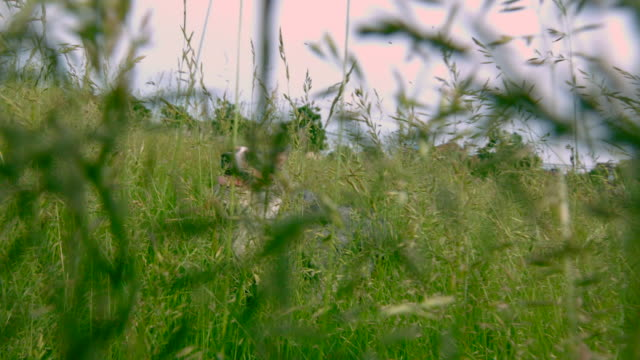 MS SLO MO POV Shot of tall grass with bugs flying to reveal Australian shepherd sitting / Morristown, New Jersey, United States