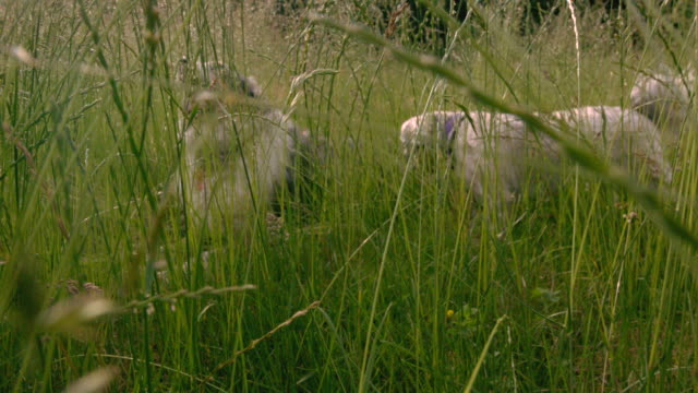 MS SLO MO POV Shot of tall grass with bugs flying to reveal Australian shepherd laying down / Morristown, New Jersey, United States