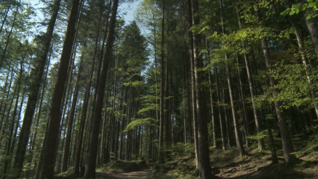 ms td shot of tall spruce trees and sky / schwende, appenzell innerhoden, switzerland    - spruce stock videos & royalty-free footage