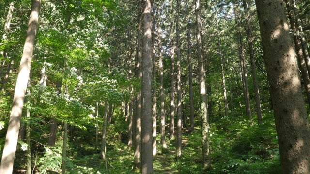 Shot of Tall spruce trees in Deogyusan National Mountain Park