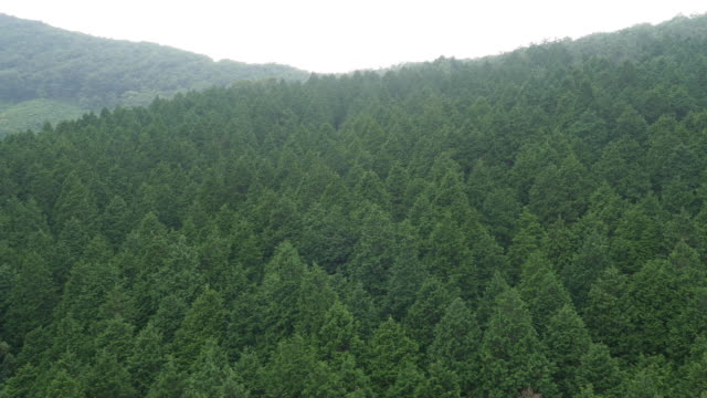shot of tall spruce trees in deogyusan national mountain park - spruce stock videos & royalty-free footage