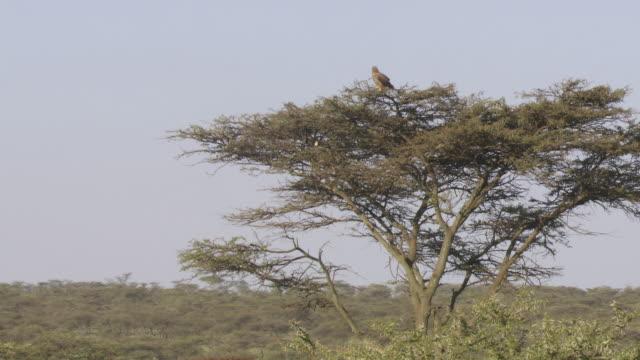 ws shot of tanzania eagle on tree / tanzania - gruppo medio di animali video stock e b–roll
