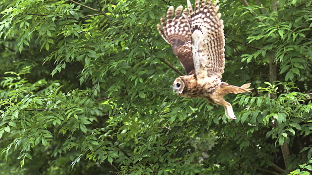 ms slo mo shot of tawny owl flying / vieux pont en auge, normandy, france - owl stock videos & royalty-free footage