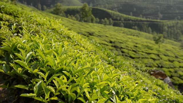 ms shot of tea plantation / munnar, kerala ,india - focus on foreground stock videos and b-roll footage