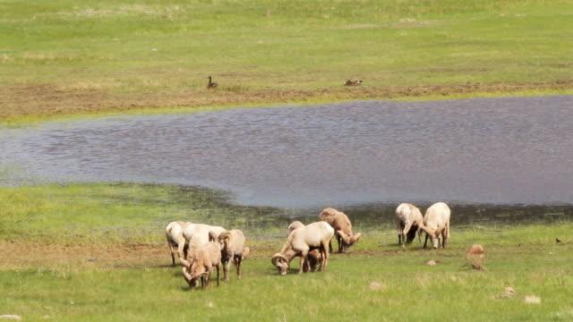 stockvideo's en b-roll-footage met ms shot of ten bighorn rams grazing at pond / estes park, colorado, united states - estes park