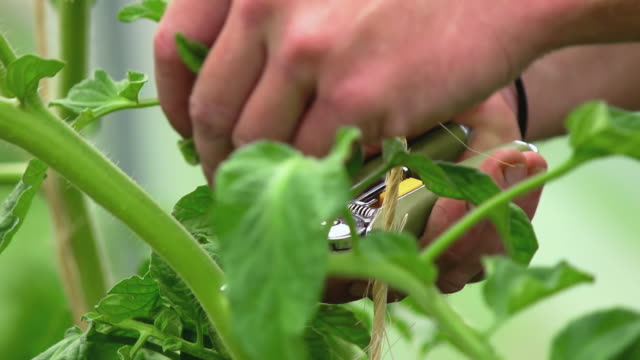 CU SLO MO Shot of Tending to plants in green house at organic farm / Chatham, Michigan, United States