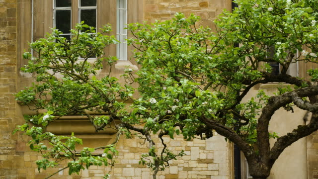 shot of the isaac newton apple tree at trinity college, cambridge. - trinity college cambridge university stock videos & royalty-free footage