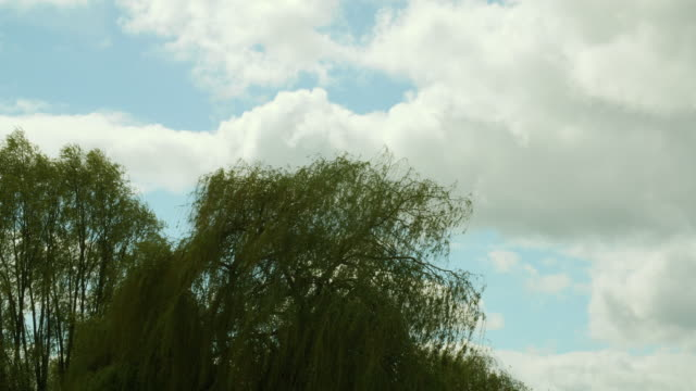 shot of the leaves of a willow tree swaying in a breeze. - treetop stock videos & royalty-free footage