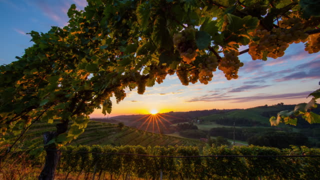 t/l 8k shot of the vineyard at sunrise - vine plant stock videos & royalty-free footage