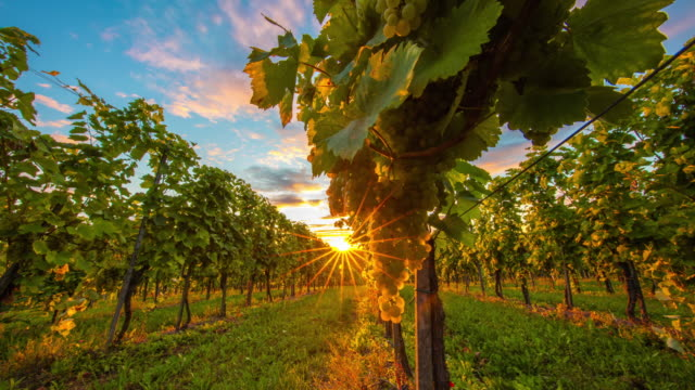 t/l 8k shot of the vineyard at sunset - grape stock videos & royalty-free footage
