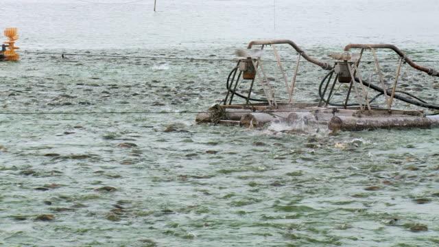 WS Shot of thousands of carp fish (Cyprinus carpioin) swimming and feeding in fishpond / Maagan Michael, Carmel Coast, Israel