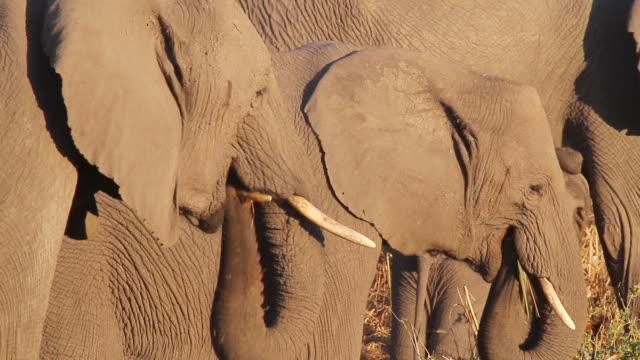 ms r/f shot of three elephants eating grass / ghanzi district, ghanzi district, botswana - wiese stock videos & royalty-free footage