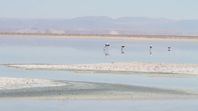 stockvideo's en b-roll-footage met ms shot of three flamingoes and seagull feeding in shallow blue lagoon with brown and blue mountain in background - vier dieren