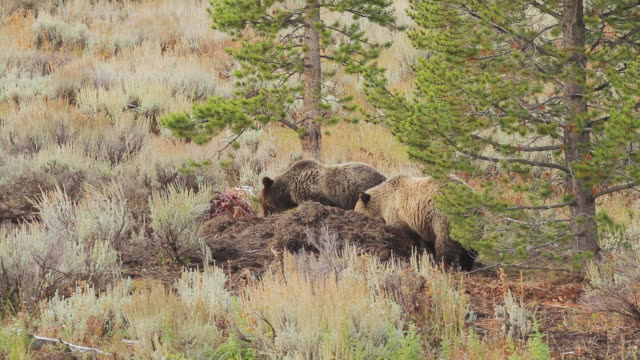 ms ts shot of three grizzlies running toward moose carcass / tetons, wyoming, united states - small group of animals stock videos & royalty-free footage