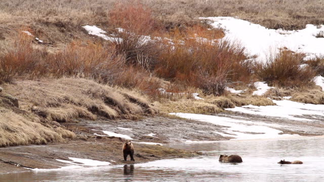 vídeos y material grabado en eventos de stock de ws shot of three grizzly bear swimming out and shaking body near snake river / tetons, wyoming, united states - río snake