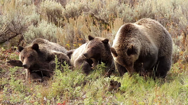MS  shot of three grizzly bears (Ursus arctos horribilis) laying togrther facing the camera in a sagebrush meadow