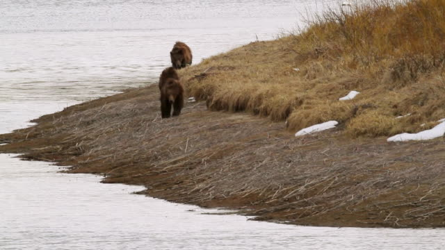 ms pan shot of three grizzly bears running along snake river / tetons, wyoming, united states - river snake stock videos & royalty-free footage